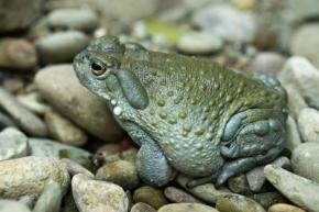 co_river_toad_2_big